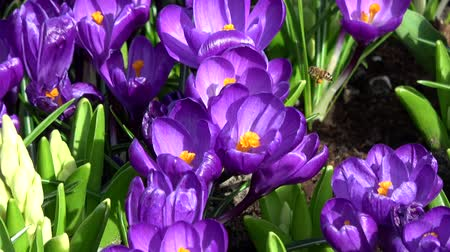 çiğdem : Crocus is a genus of flowering plants in the iris family.