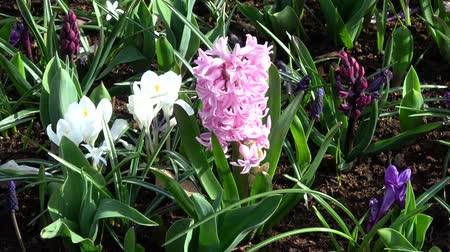 bulboso : Hyacinthus is a small genus of bulbous, fragrant flowering plants in the Asparagaceae family. Vídeos