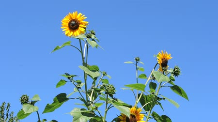 baviera : Girasoles en el viento. Archivo de Video