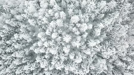 snow covered spruce : Flying over the winter forest. Aerial view landscape.