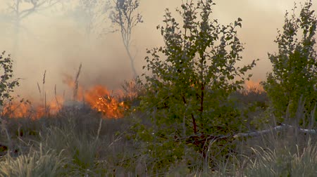 dead forest : Forest in Fire, Burning Trees, Bushs, Burning Dry Grass in the Peatbog.