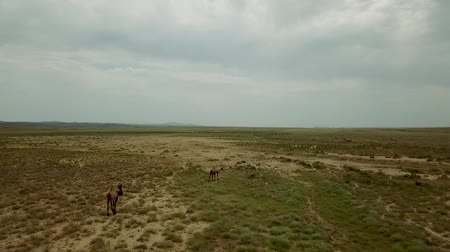 Two-humped Runing Wild Camels in the Background of the Kazakhstan Dry Steppe, Areal Dron Shoot. Dostupné videozáznamy