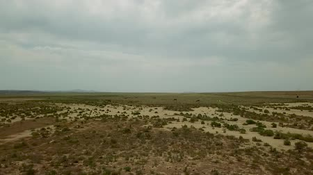 moğolistan : Two-humped Runing Wild Camels in the Background of the Kazakhstan Dry Steppe, Areal Dron Shoot. Stok Video