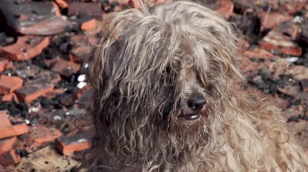 pleading : Sad Lonely Dog in Burned House Looking for food.