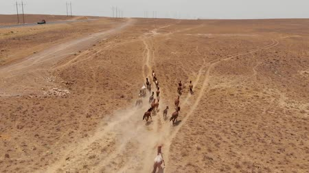 horse breeding : Wild Horses Runs Through the Kazakhstan Dry Steppe. Horses Running in the Field Stock Footage