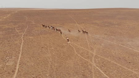 kumul : Wild Horses Runs Through the Kazakhstan Dry Steppe. Horses Running in the Field Stok Video