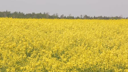 canola seeds : Flowering Rapeseed Canola or Colza in Latin Brassica Napus, Plant for Green Energy and Oil Industry, Rape Seed on the Suny Day Background