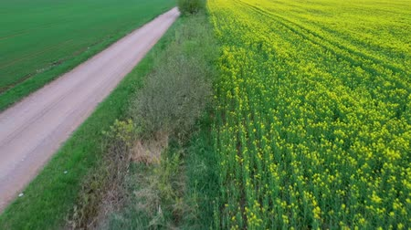 canola seeds : Flight Over Field With Flowering Canola Flowers and Country Road. Aerial Dron Footage. Flowering Rapeseed Canola or Colza in Latin Brassica Napus, Plant for Green Energy and Oil Industry, Rape Seed.