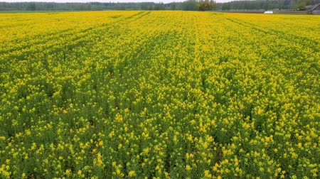 canola : Flight Over Field With Flowering Canola Flowers. Aerial Dron Footage. Flowering Rapeseed Canola or Colza in Latin Brassica Napus, Plant for Green Energy and Oil Industry, Rape Seed on the Suny Day