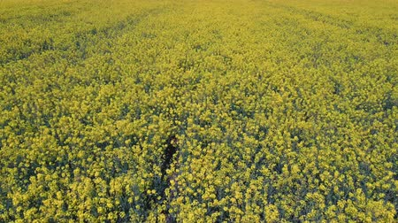 oleaginosa : Flight Over Field With Flowering Canola Flowers. Aerial Dron Footage. Flowering Rapeseed Canola or Colza in Latin Brassica Napus, Plant for Green Energy and Oil Industry, Rape Seed on the Suny Day