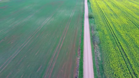 oleaginosa : Flight Over Field With Flowering Canola Flowers and Country Road. Aerial Dron Footage. Flowering Rapeseed Canola or Colza in Latin Brassica Napus, Plant for Green Energy and Oil Industry, Rape Seed.