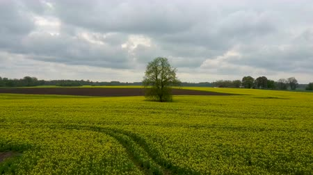 ekili : Flight Over Field With Flowering Canola Flowers and Linden in Midle. Aerial Dron Footage. Flowering Rapeseed Canola or Colza in Latin Brassica Napus, Plant for Green Energy and Oil Industry.