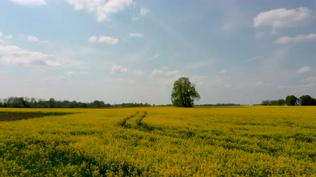 canola seeds : Flight Over Field With Flowering Canola Flowers and Linden in Midle. Aerial Dron Footage. Flowering Rapeseed Canola or Colza in Latin Brassica Napus, Plant for Green Energy and Oil Industry.