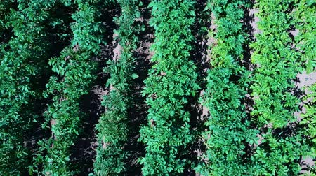 çiftlik : Potato Field Aerial View. Rows of Potatoes in a Field Aerial Dron Shoot. Rows of Green and Organic Potatoes Growing on a Farm on Sunny Summer Day. Green Field of Flowering Potatoes. Stok Video
