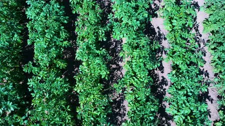Potato Field Aerial View. Rows of Potatoes in a Field Aerial Dron Shoot. Rows of Green and Organic Potatoes Growing on a Farm on Sunny Summer Day. Green Field of Flowering Potatoes. Dostupné videozáznamy