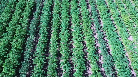 irrigação : Potato Field Aerial View. Rows of Potatoes in a Field Aerial Dron Shoot. Rows of Green and Organic Potatoes Growing on a Farm on Sunny Summer Day. Green Field of Flowering Potatoes. Vídeos
