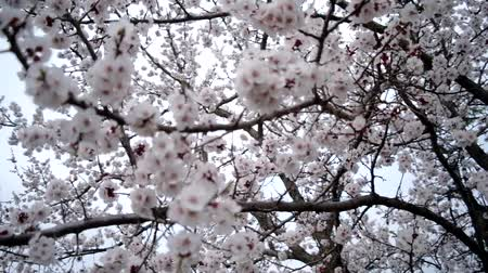 pereira : Blossoming apricot tree