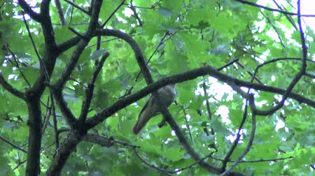 bird eye : Wonderful singing of a bird Thrush Nightingale on a tree( Luscinia luscinia)