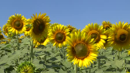 paisagem : Large field of blossomed sunflowers. Pan view. Stock Footage