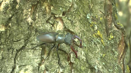 stag beetle : Stag-Beetle on a tree