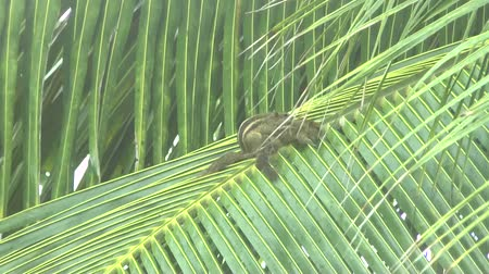 indian squirrel : squirrels on palm leaf