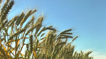 cena não urbana : The movement of the ears of ripe wheat in the wind and the blue sky. Vídeos