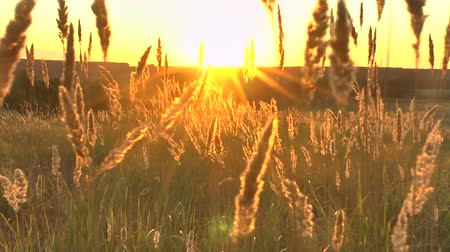 idil : Grass landscape in the wonderful sunset red light Stok Video