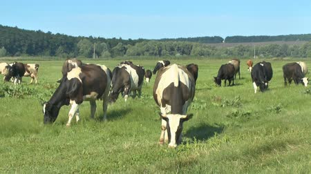 pastar : Cows grazing in fresh pastures