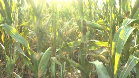 milho : corn field in the wind Stock Footage