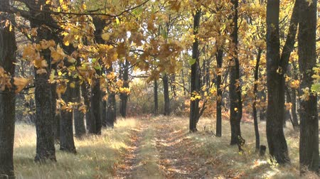 wrzesień : Colorful autumn forest with country road Wideo