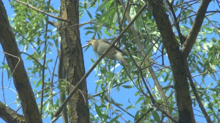 diken : Sprosser or Thrush nightingale sitting on a branch and sings a song Stok Video