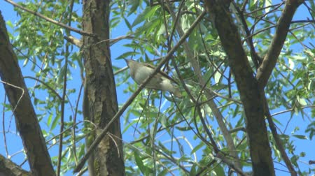 水平の : Sprosser or Thrush nightingale sitting on a branch and sings a song 動画素材