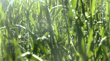 frescura : Green grass in morning dew
