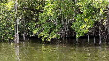 jamaica : Caribbean mangrove forest on the Black River in Jamaica