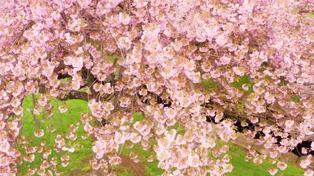 Establishing drone shot in a Japanese cherry tree orchard in full blossom, with upward camera motion 무비클립