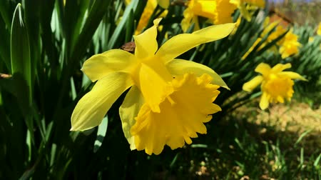 żonkile : Bunch of yellow daffodil flowers or narcissus, in green grass during spring. Blowing in the wind.
