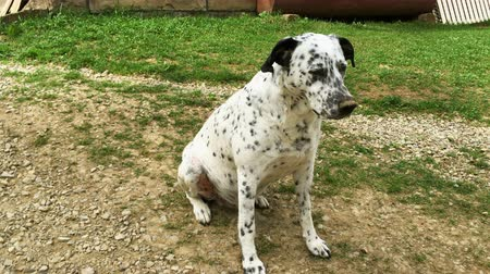 obediente : Dalmatian dog is sitting on the grass on a sunny day. Vídeos