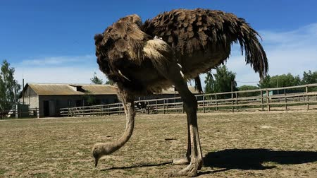 avestruz : Domesticated wild african ostrich (struthio camelus) is walking in an aviary on a ostrich farm. Wild ostriches on a bird farm.