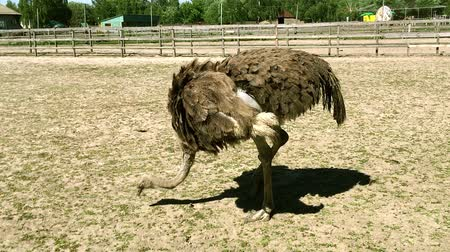 avestruz : Domesticated wild african ostrich (struthio camelus) pecks food in an aviary on a ostrich farm. Wild ostriches on a bird farm.