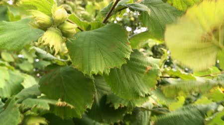 hazelnuts : Branches with unripe hazelnut are swinging in the wind on a sunny day. Close-up.
