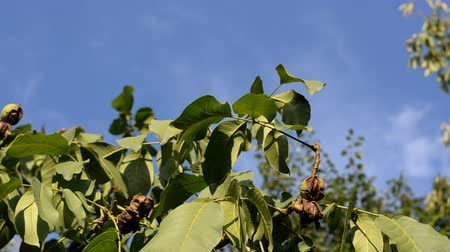 walnut shell : Ripe nuts hang on the green tree branch in the garden against the blue sky and swing in the wind. Stock Footage