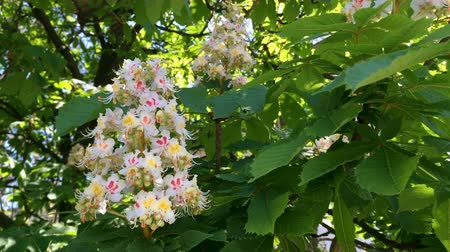 castanha : Blossom tree branch of chestnut, white color. Its flowers are swinging in the wind. Blossom garden in spring. Close-up.