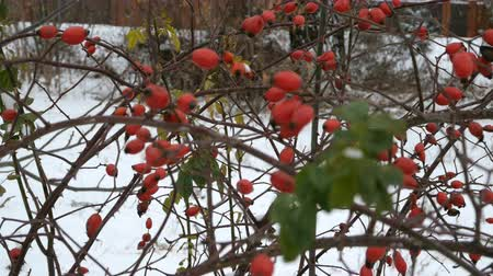 wild berries : Rose hips or wild rose fruits on a bush outside in winter. On the branches of the shrub. Outdoors