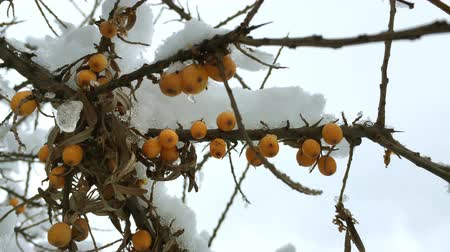 buckthorn : Orange berries of the sea covered in snow Close-up.