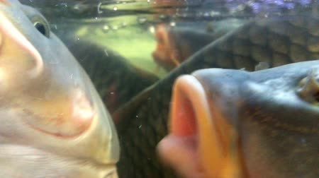 crucian : A lot of live fish carp, swims in the aquarium in the market. Macro of parts of fish: eye, fins, tail, scales, skin. Close-up. Stock Footage