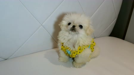 поясница : Fluffy white dog look for a treat or affection. Concept of cute little puppy. Close-up.