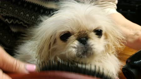 candida : Animal care. Adorable cute young puppy white Pekingese. Human hands comb after bathing with brush.