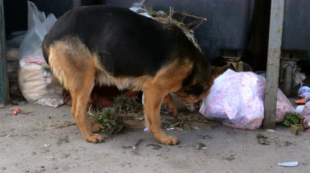 mestiços : Stray mongrel dog rummages through trash can in search of food. Animals on the streets. Vídeos