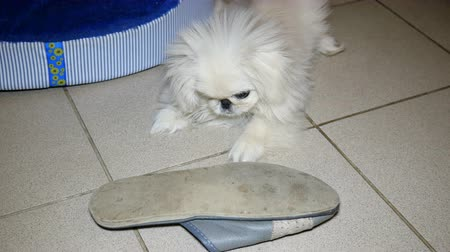 terlik : Small white Pekingese dog playing. It gnaws slippers or shoes on the floor of the tile.