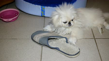 gnaw : Small white Pekingese dog playing. It gnaws slippers or shoes on the floor of the tile.